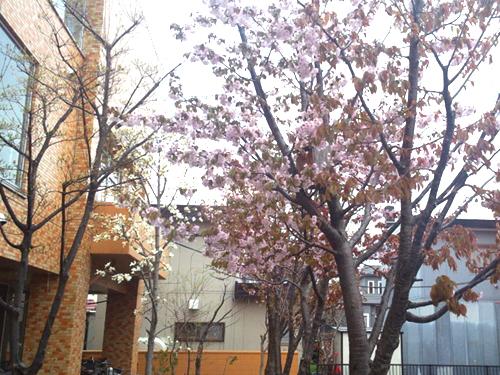 ひまわり桜1.jpg