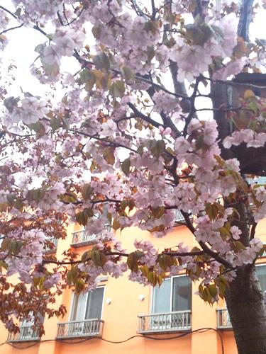 ひまわり桜2.jpg
